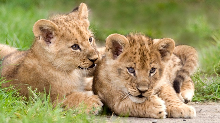 Most interesting facts about lions and their life information