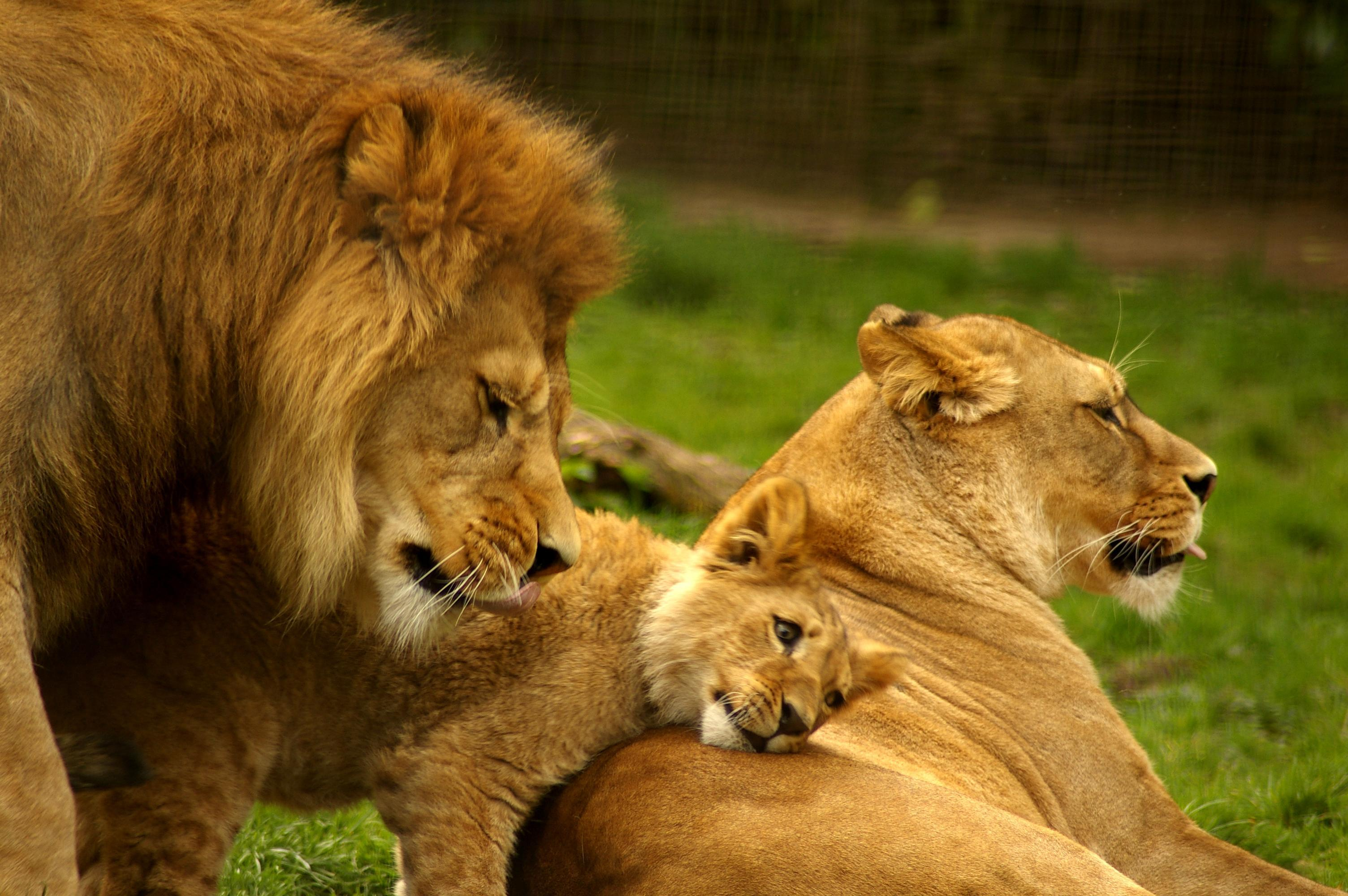 lion with family Lion Family
