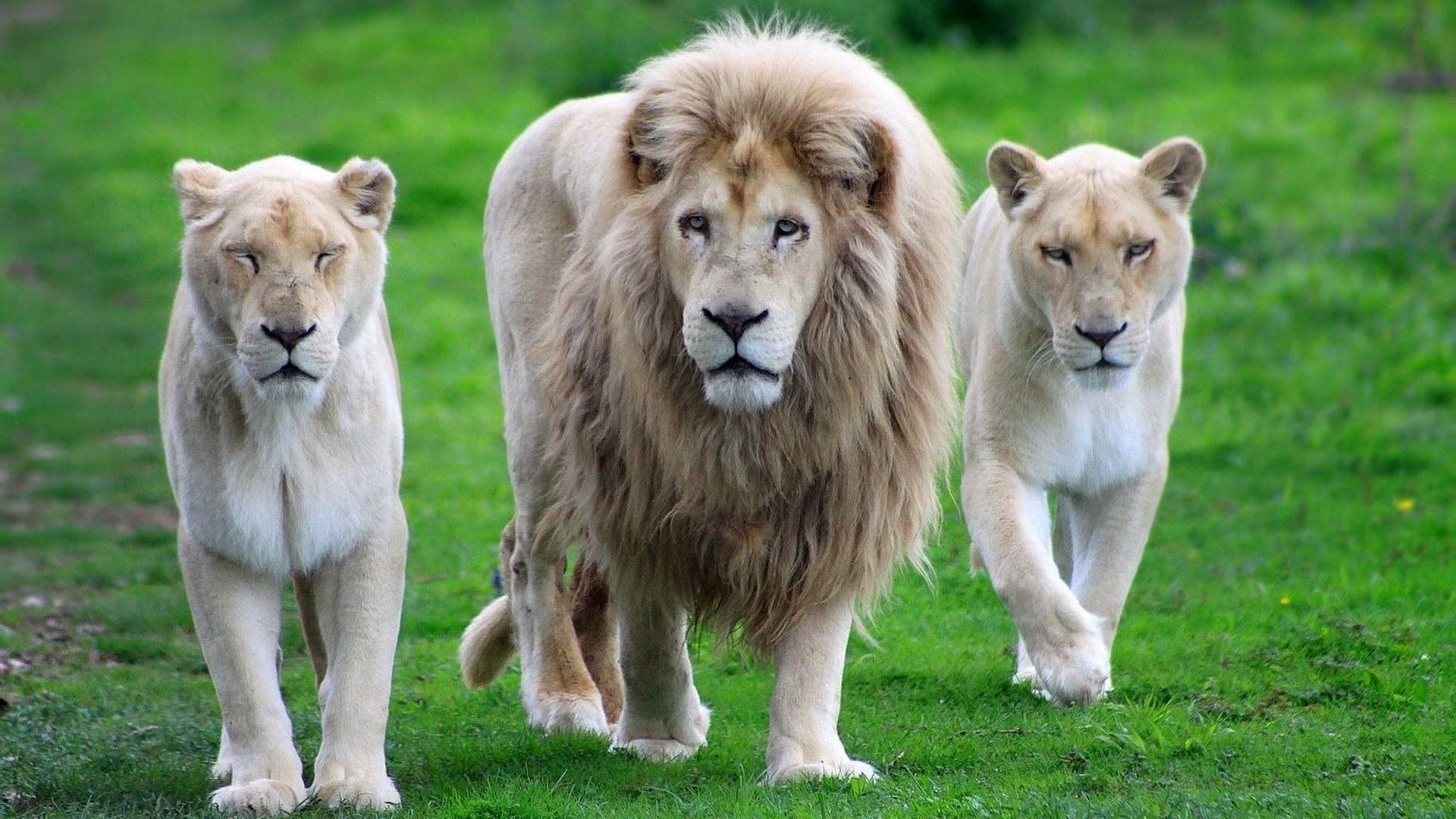 categories of lions these Lion Family
