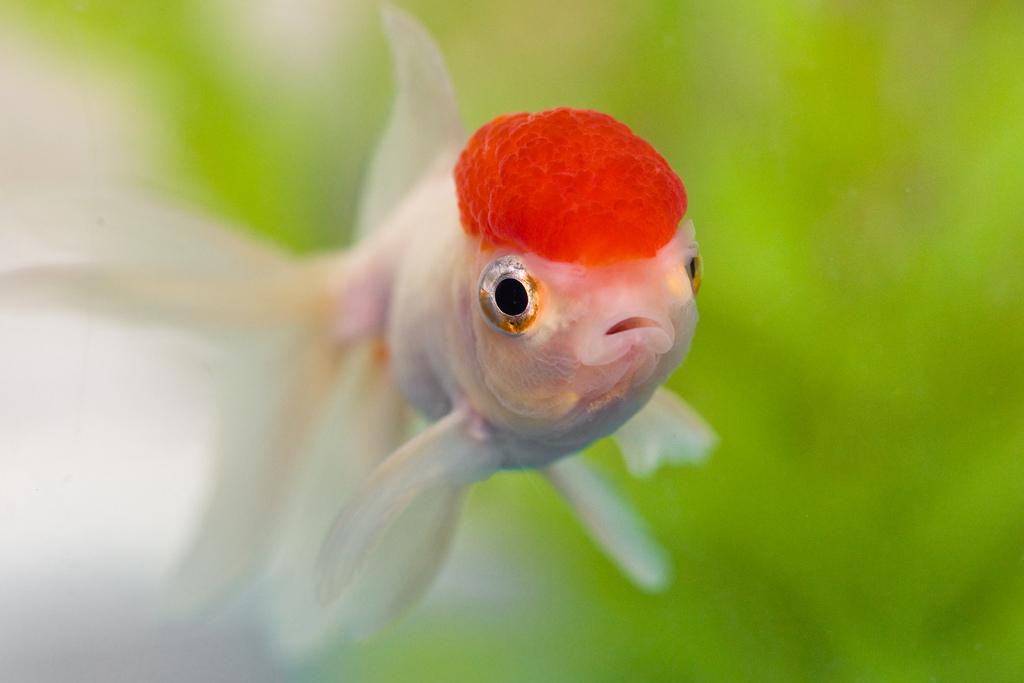 Ed cap goldfish