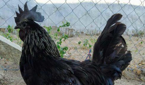 kadaknath bird