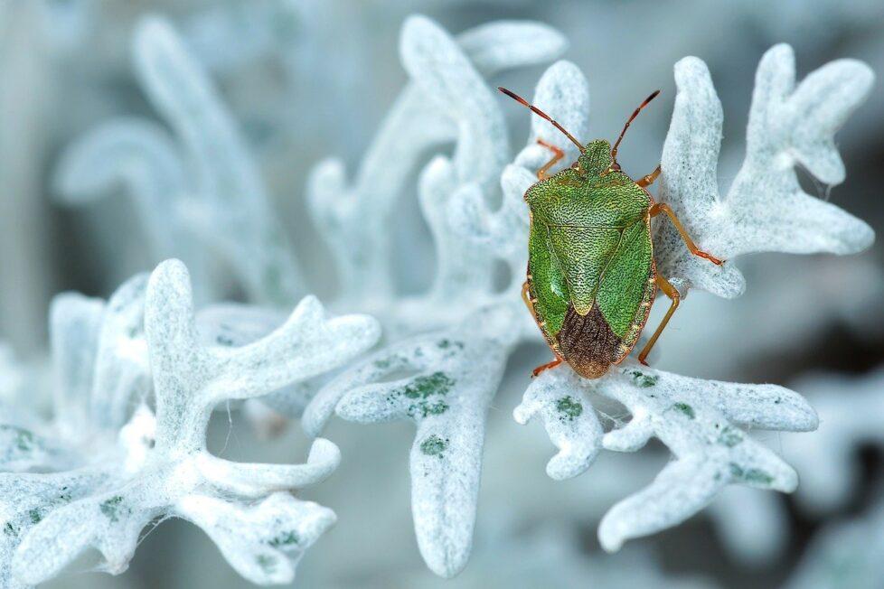 green-stinkwanze